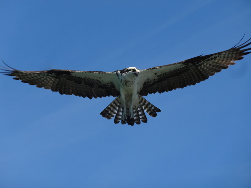 Osprey in flight.  Lido Mangroves.